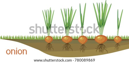 onion bulbs with green leaves...