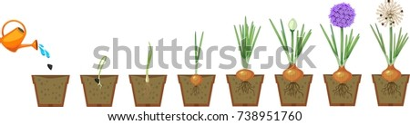 Onion growth stages from seeding to flowering and fruit-bearing plant. Growing green onions in pot