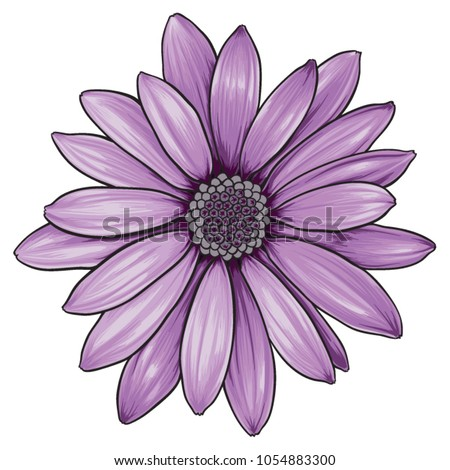 open purple daisy vector flower
