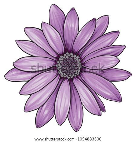 open purple daisy vector flower