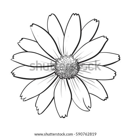 openblack and white heliopsis