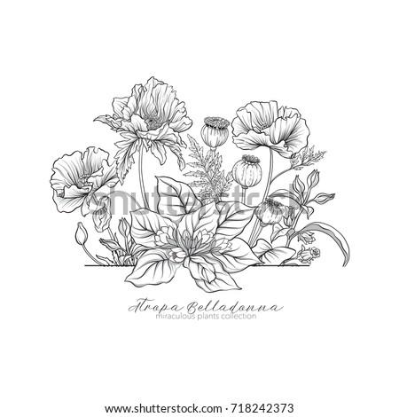 Opium poppy, belladonna and mandragora. Set of miraculous plants #718242373