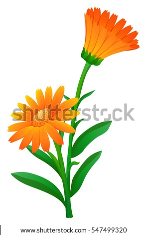 Orange calendula flowers with green leaves illustration