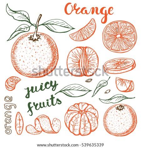 oranges  sketch.vector hand...