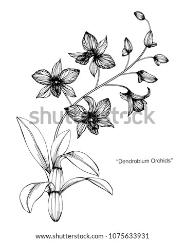 Orchid flower drawing illustration. Black and white with line art on white backgrounds.