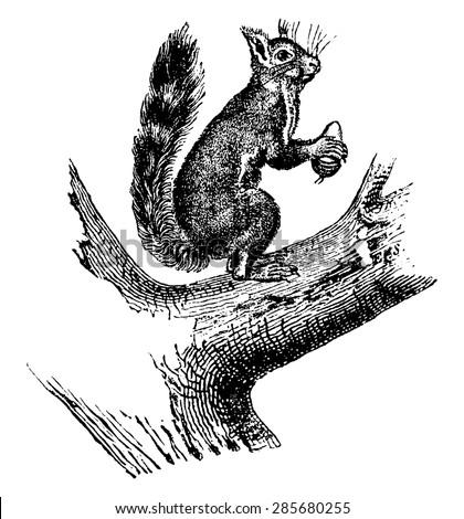 ordinary squirrel  vintage