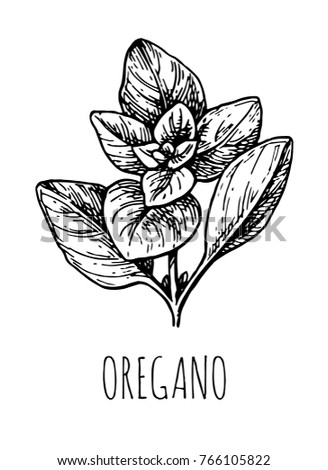 Oregano ink sketch. Isolated on white background. Hand drawn vector illustration. Retro style.
