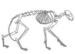 original black and white drawing of cat skeleton