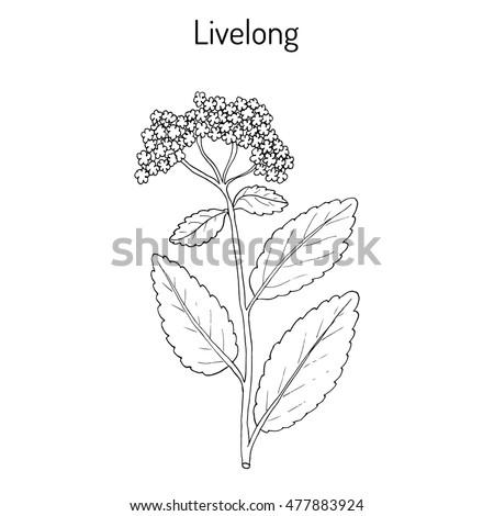 orpine  sedum telephium   or