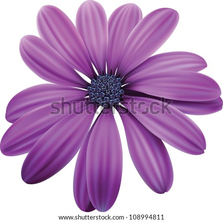 osteospermum purple flower macro