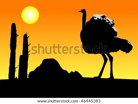 Ostrich bird in the baking hot karoo in South Africa