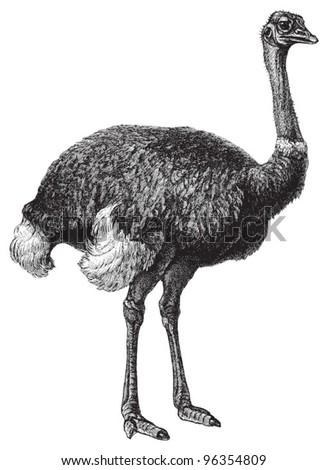 Ostrich (Struthio camelus) / vintage illustration from Meyers Konversations-Lexikon 1897