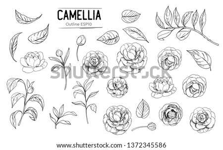 Outline of camellia flowers. Set of hand drawn illustrtions converted to vector. With transparent background or with fill