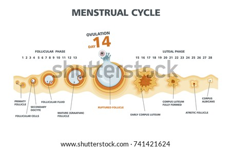 Ovulation chart. Female menstrual cycle