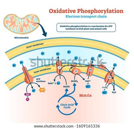 oxidative phosphorylation