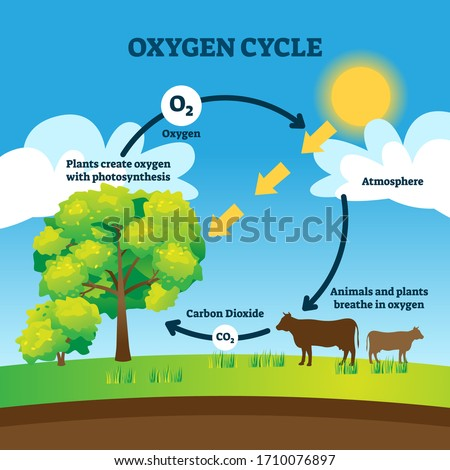 Oxygen cycle vector illustration. Labeled educational O2 circulation scheme. Biological diagram with animals breathing, carbon dioxide, plants photosynthesis and atmosphere. Cyclic earth process graph