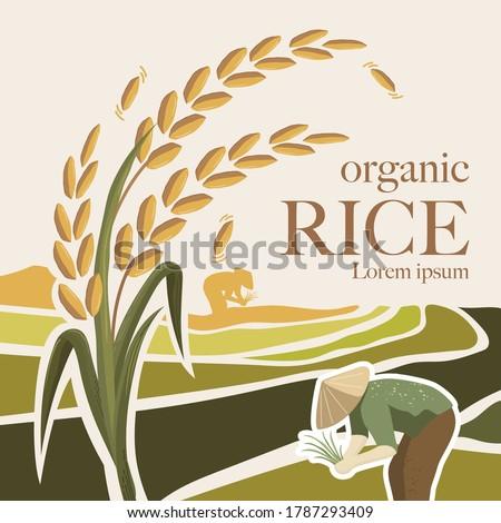paddy rice premium organic natural product banner logo vector design Stockfoto ©