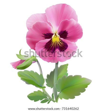 Shutterstock puzzlepix pansy flower hand drawn vector illustration of a garden variety of viola tricolor on transparent background realistic style mightylinksfo
