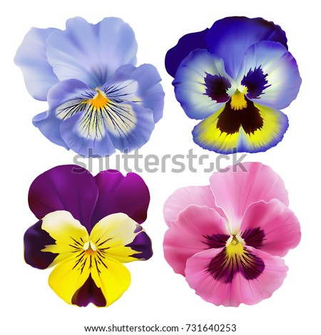 Pansy flower. Hand drawn vector illustration of garden varieties of Viola tricolor on transparent background, realistic style.