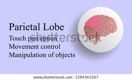 Parietal lobe vector. Brain lobes vector illustration. Human brain infographic vector. Brain lobes functions