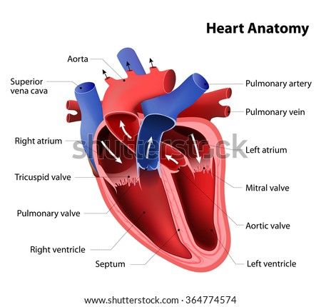part of the human heart anatomy