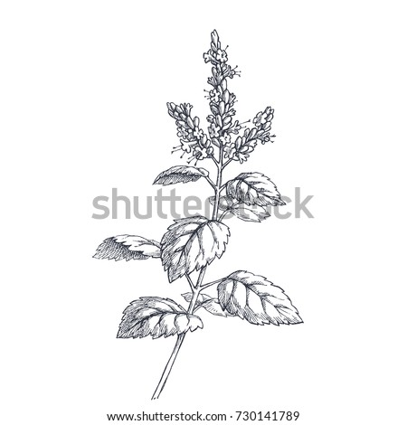 Patchouli branch. Vector botanical hand drawn illustration with herb. Natural element for design. Component for aromatic oil