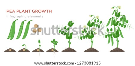 Pea plant growth stages infographic elements in flat design. Planting process of peas from seeds sprout to ripe vegetable, plant life cycle isolated on white background, vector stock illustration.