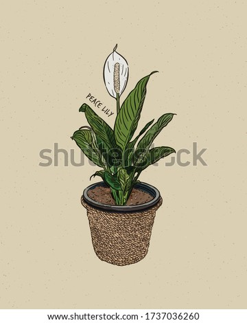 peace lily  spathiphyllum is a