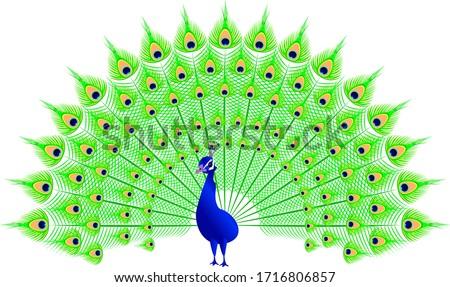 Peacock in vector spread tail Foto stock ©