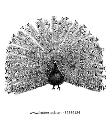 Peacock - - vintage engraved illustration -