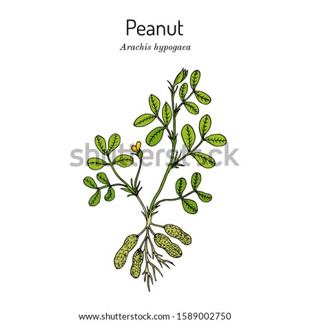 Peanut, or groundnut (Arachis hypogaea). Hand drawn botanical vector illustration
