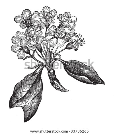 Pear or Pyrus sp., vintage engraved illustration, showing flowers (left) and fruit (right). Trousset encyclopedia (1886 - 1891).