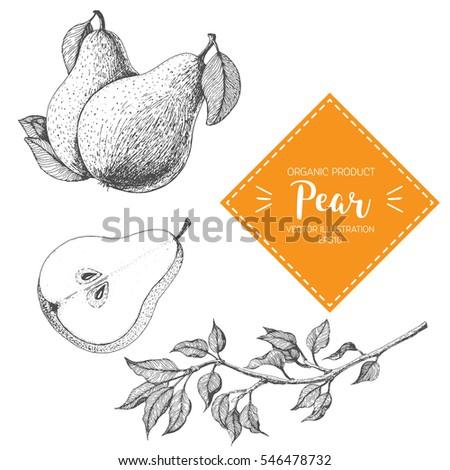 pear vector illustration. hand...