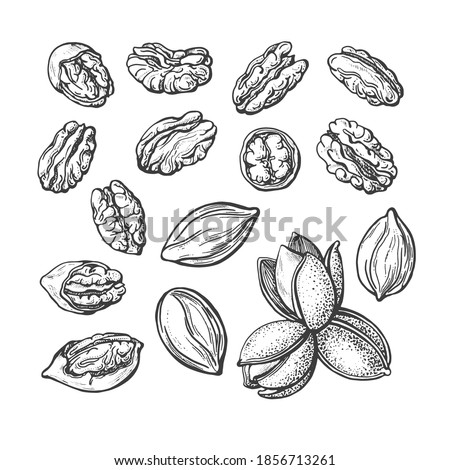 Pecan nuts set. Vector texture hand drawn sketch. Vintage botanical illustration isolated on white background. Healthy organic food. Farm harvest Zdjęcia stock ©