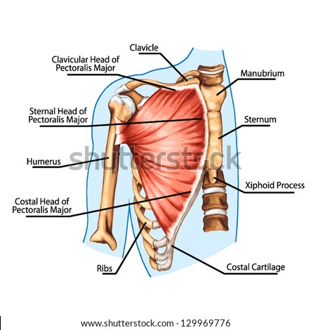 pectoralis major muscle muscles of chest thorax brisket breast bust didactic board of anatomy of human muscular system