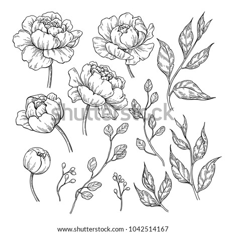 peony flower and leaves drawing