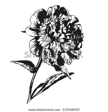 peony hand drawn vector llustration realistic sketch