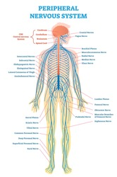 Peripheral nervous system, medical vector illustration diagram with brain, spinal cord and full body nerve scheme.