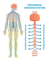 Peripheral nervous system, medical vector illustration diagram with brain, spinal cord and nerves. Educational scheme poster.