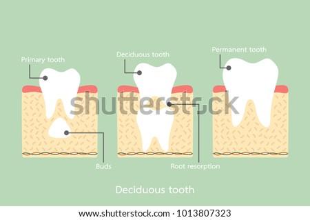 Structure Of Tooth Vectors Download Free Vector Art Stock