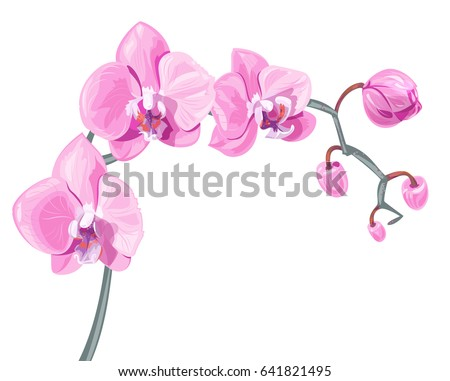 Phalaenopsis orchid, pink, red flowers with orange and fioletette dots, green stem and leaves on white background, digital draw tropical plant, realistic vector botanical illustration for design