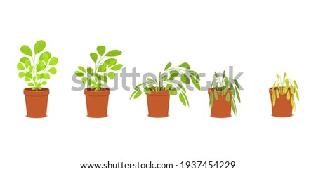 Phases of plant withering. Blossom and wilt flowers in the pots. Houseplant dying without care and watering. Vector flat cartoon illustration. Stockfoto ©