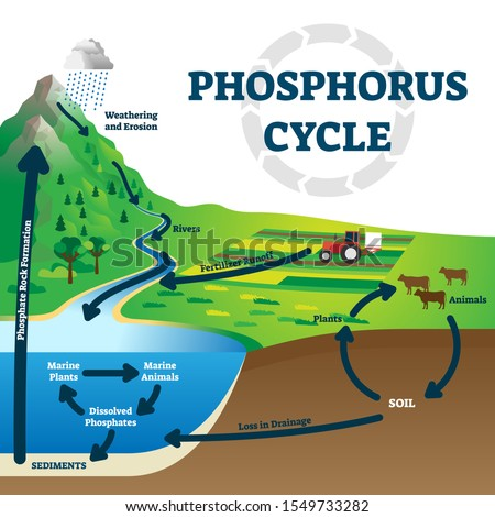 Phosphorus cycle vector illustration. Labeled earth chemical element scheme. Educational diagram with explained substance movement from rivers, fertilizer runoff, marine environment to rock formation.