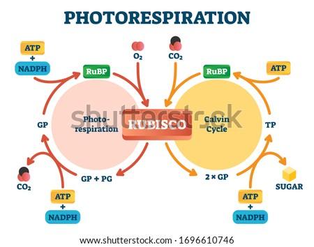 photorespiration vector
