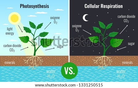 Photosynthesis accumulating sugar and cellular respiration fueling all plants functions day night 2 educational posters vector illustration