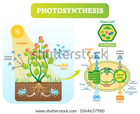 Photosynthesis biological vector illustration diagram with plan cell chloroplast kelvin cycle scheme. Conversion of light, water, carbon dioxide, oxygen and sugars.