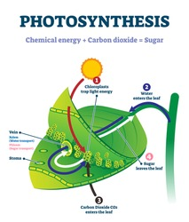 Photosynthesis leaf vector illustration. Labeled educational scheme where light energy converts to chemical sugars. Natural botanic process visualization with stages explanation. Closeup plant system.