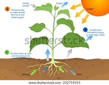 in the complete process of photosynthesis the