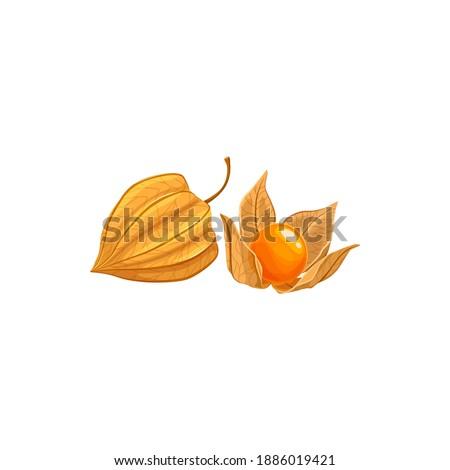 physalis fruit  tropical exotic