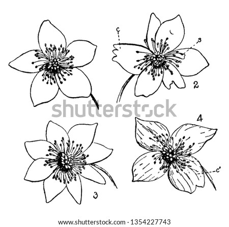 Picture is showing Buttercup Flowers. 1. Flower with 5 petals, 2. Coalescence (c) Petalody of stamens, (s) a stamen partially transformed into a petal, 3. Petalody of stamens, 4. Coalescence of petals